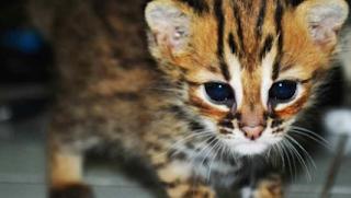 Trik Merawat Kucing Hutan
