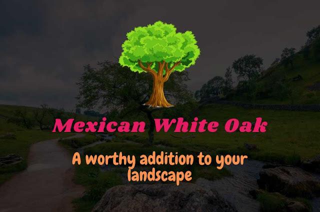 Mexican-White-Oak