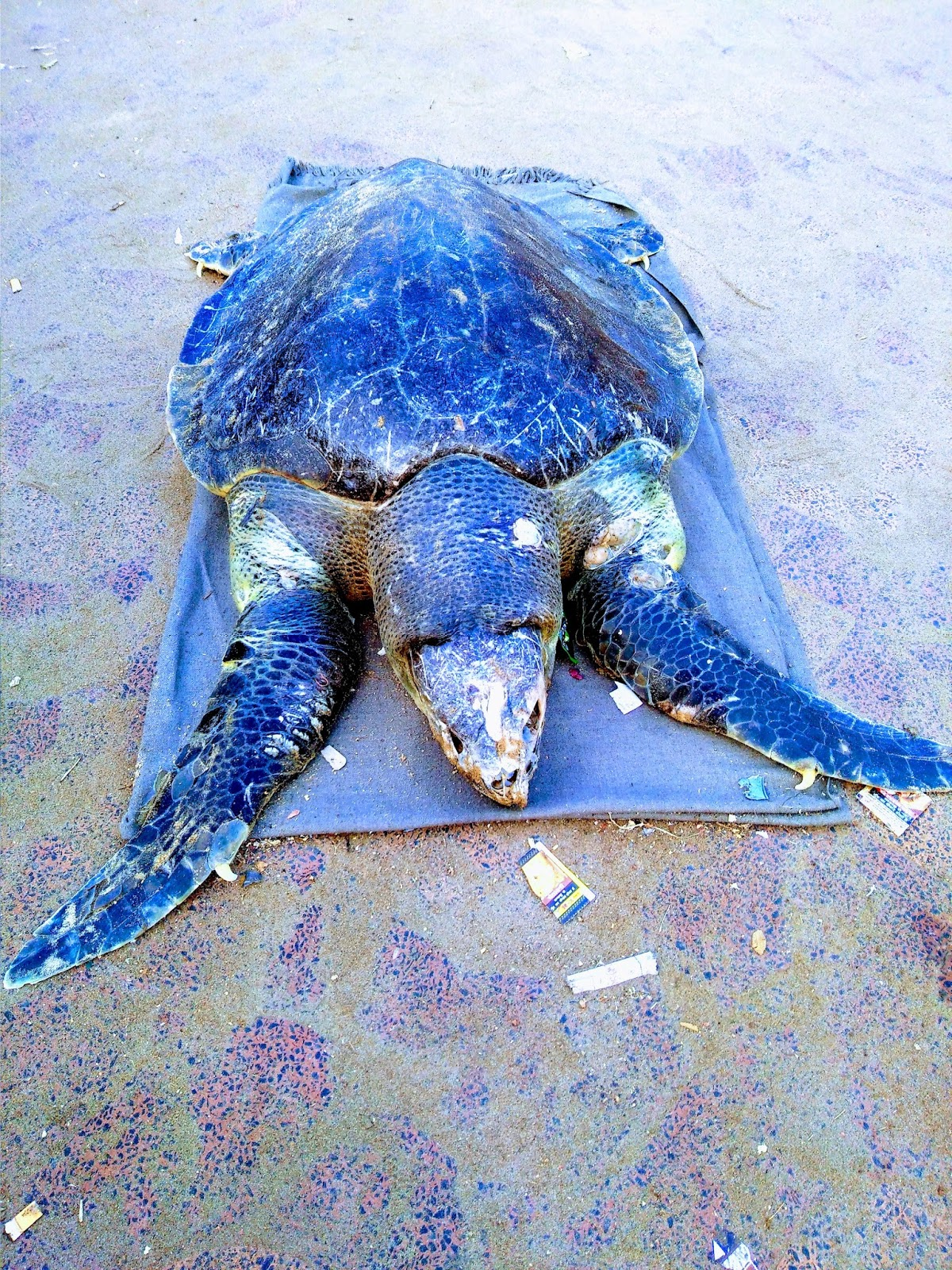 olive ridley at Puri sea beach