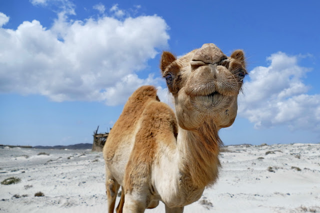 Oman, Roadtrip, Masirah, Island, Dromedar, Kamel, Begrüssung