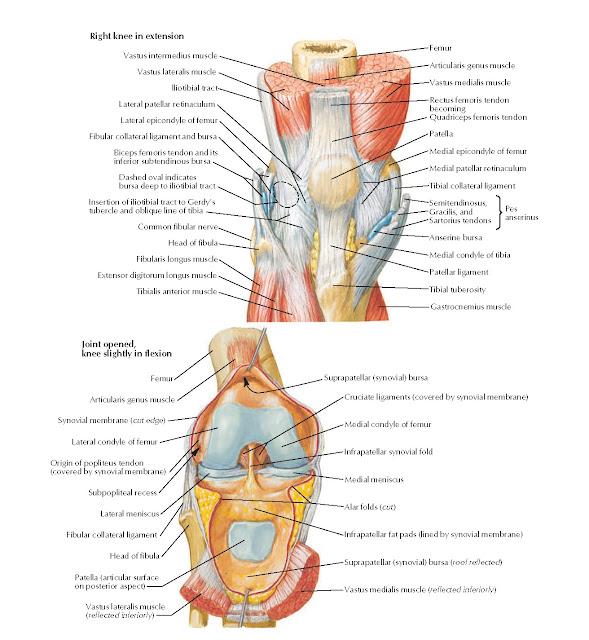 Knee: Anterior Views Anatomy