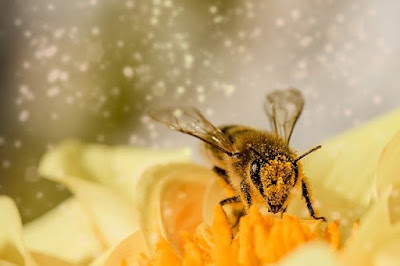 Proses daur hidup lebah setiap hewan yang ada di dunia pasti punya siklus daur hidupnya yang sangat beraneka macam. Termasuk pula yaitu lebah. Hewan ini melewati dari itu secara empat tahapan pertama telur dan diakhirinya menjadi lebih dewasa atau Imago.   Lebah adalah serangga yang metamorfosisnya masuk dalam kategori sempurna. Namun sangat perlu kita ketahui bahwa lebah hidup dalam kelompok.ada 1 lebah yang bertanggung jawab saat reproduksi koloni dalam lebah madu yaitu adalah ratu lebah itu sendiri.    Untuk mengetahui lebih lengkap tentang daur hidup lebah dan siklus hidup lebah langsung saja ya baca artikel saya secara lengkap.   Definisi Lebah   Lebah yaitu serangga dari banyaknya spesies serangga yang punya cara hidup dengan berkelompok. Akan tetapi ada juga lebah yang hidupnya sendiri tidak suka berkelompok. Semua spesies lebah masuk dalam ordo hymenopetra.    Di dunia ini ada banyak sekali wi-fi spesies lebah hampir 20.000 terletak di seluruh dunia kecuali di Antartika. Jenis serangga punya tiga pasang kaki dan dua pasang sayap biasanya.Sebagian spesies lebah sendiri punya antena 2 di atas kepalanya.    Sarang lebah biasanya dibentuk dari propolis atau perekat yang ada di getah pohon dan malam yang mereka hasilkan dari kelenjar-kelenjar lebah betina yang berumur masih muda. Makanan dari lebah yaitu nektar serta Serbuk sari.     Tahapan Daur Hidup Lebah    Seperti yang sudah saya bocorkan di atas tadi bawa malu gitu pasti punya tahapan daur hidup atau siklus hidupnya masing-masing begitu pula dengan hewan yang satu ini lebah masuk dalam metamorfosis yang dikatakan sempurna karena melewati 4 fase.    Fase-fase tersebut yaitu telur Larva pupa dan jadi lebah dewasa langsung saja ya.    Fase Telur   Daur hidup lebah yang paling pertama diawali dengan telur lebah betina atau yang bisa lebah bertelur. Ratu lebah akan meletakkan telurnya dalam sarang yang tadinya dibuat oleh koloni.    Cara mengubah biasanya terdiri dari banyak sel atau lubang-lubang yang masing-ma