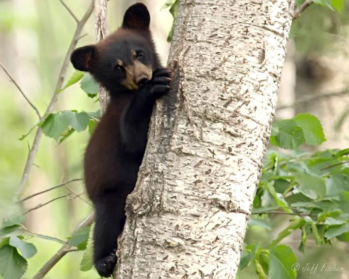 Ecobirder: Baby Black Bear - photo#22