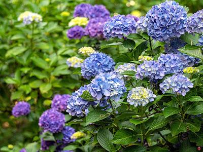 Ajisai ( Hydrangea) flowers: Engaku-ji