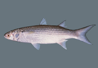 Kandungan ikan Belanak - Gambar dan klasifikasi