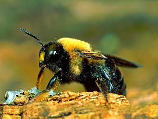 cara-membasmi-lebah-kayu.jpg
