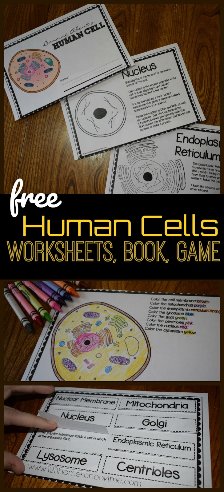 Human Cells (with free printables)