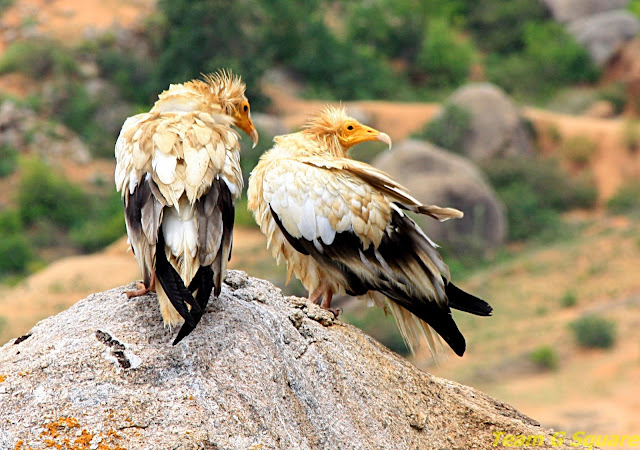 Egyptian Vulture Couple