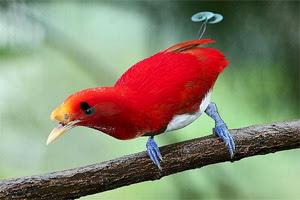Burung cendrawasih raja