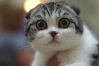 Luppakorva Kissa