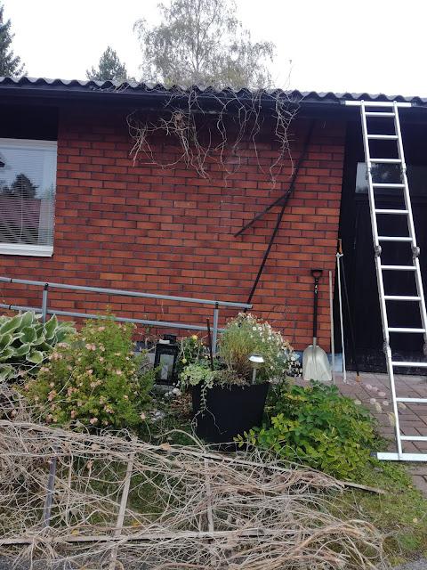 Kattorännien siivouksen yhteydessä seinäkasvien poisto ränniurasta ja seinustalta