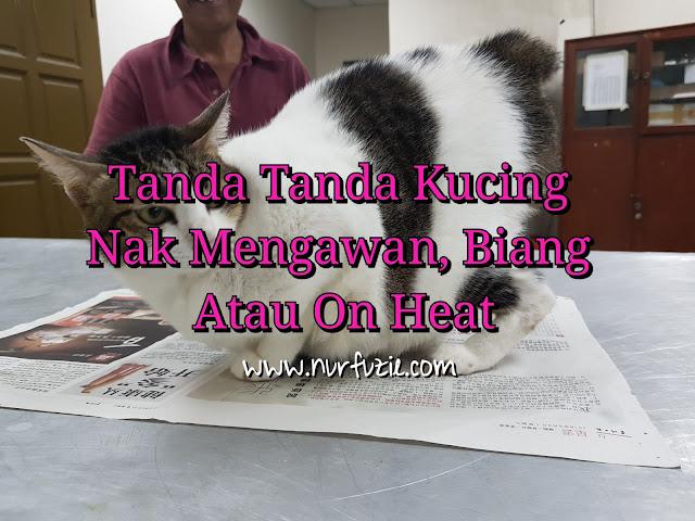 Tanda Tanda Kucing Nak Mengawan, Biang Atau On Heat