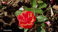 Red rose - Boothe Memorial Park and Museum, Stratford, CT