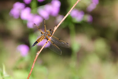 four-spotted skimmer on twig
