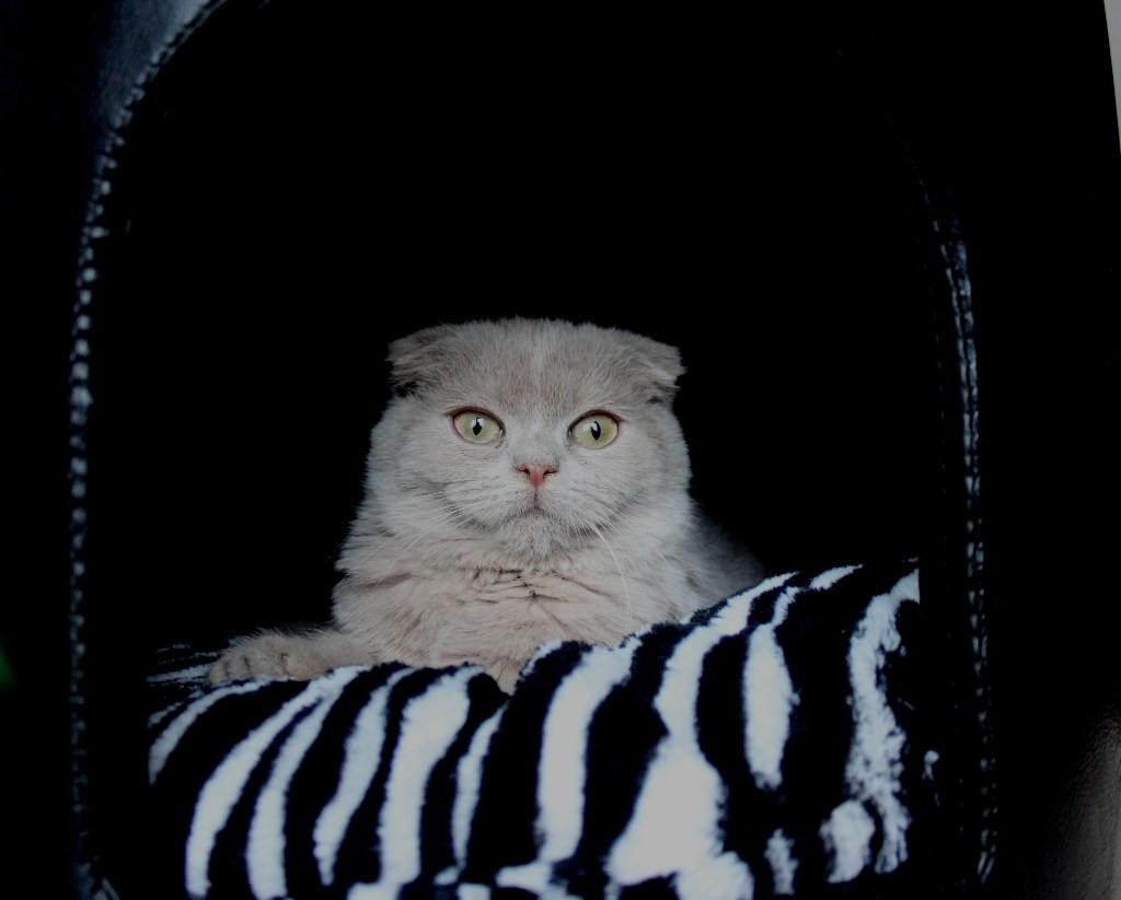 Tinjas Katzenzucht  Scottish Fold fawn und cinnamon