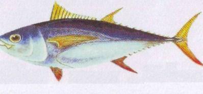 big eye - Distribusi Ikan Tuna Mata Besar (Thunnus Obesus)