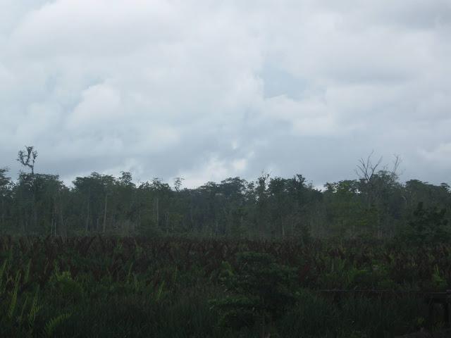 Hutan pinggir Asmat