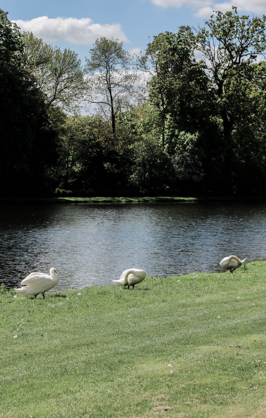 British Picturesque Lake Swan Scene