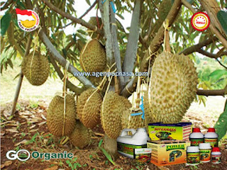 Cara Budidaya Durian Montong