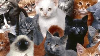 سلالة القطط