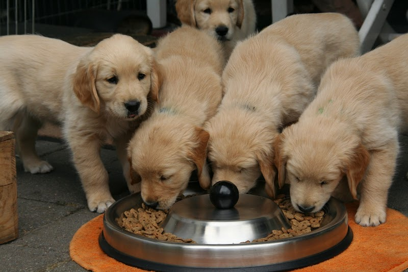How to feed a puppy | how to feed best food to puppy