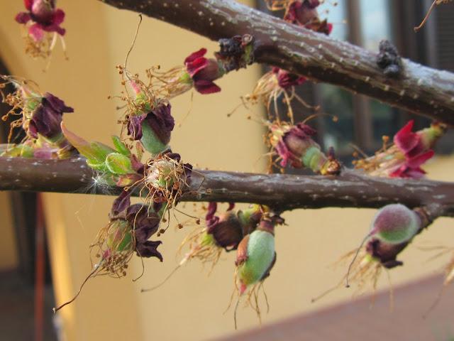 frutticini albicocco