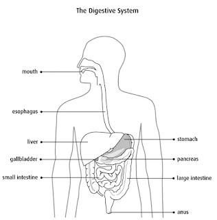 bagian bagian usus besar terdiri dari sekum, usus besar, dubur dan anus. Fungsi usus besar adalah untuk...