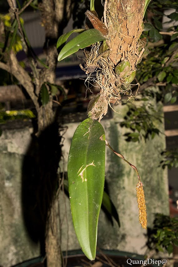 Bulbophyllum morphologorum