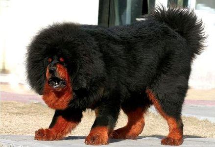 Himalayan Sheepdog - Height, Weight, Origin, History, etc | IndianDogsbreed.com