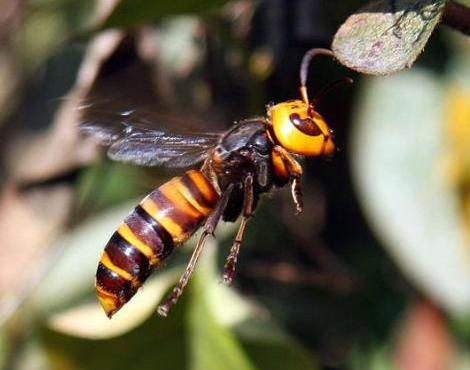 Animals Unique: Asian Giant Hornet Unique