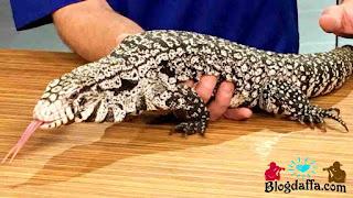 Tegu Hitam dan Putih reptil unik untuk dipelihara