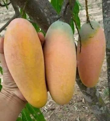 Mangga Chokanan