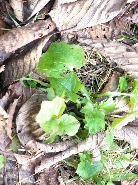 wall lettuce edible weeds