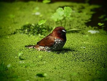 ما هو عدس الماء  , الفرق بين عدس الماء والازولا, التحليل الكيميائي لعدس الماء, الاسم العلمي لعدس الماء, طريقة تكاثر عدس الماء, كيف يزرع عدس الماء , مواعيد زراعة عدس الماء, الموطن الاصلي لعدس الماء, ما هي الطيور التي تأكل عدس الماء, مكونات عدس الماء الغذائية ي النيلي , عدس الماء في مصر ,