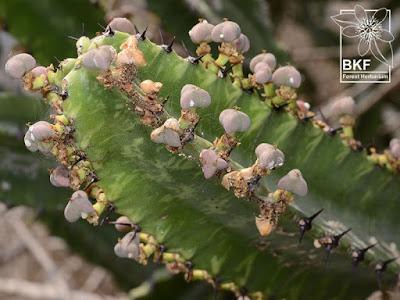 ผลสลัดไดป่าEuphorbia antiquorum