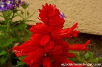 Szałwia błyszcząca- Salvia splendens