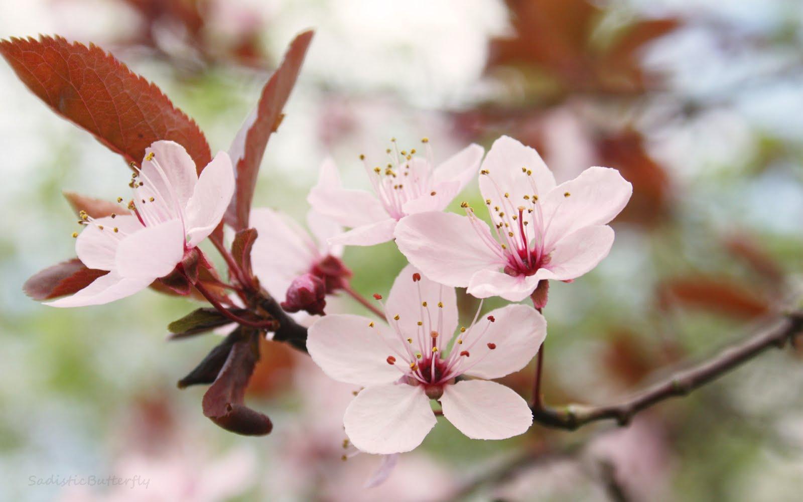 cherry blossom branch - photo #41