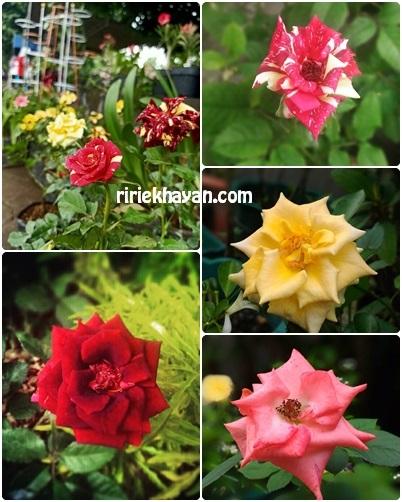Bunga-Mawar-Tidak-Berbau-Harum