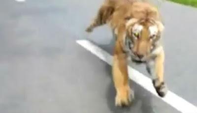Pengendara sepeda motor dikejar harimau besar
