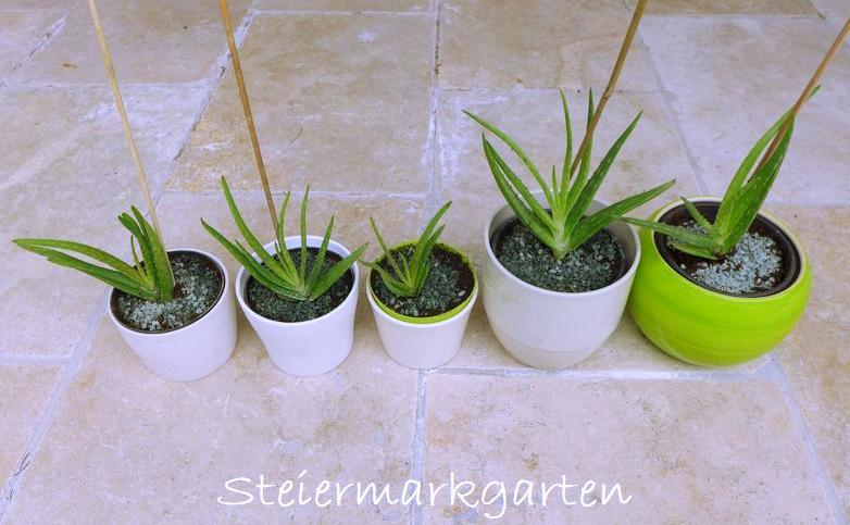 Aloe-Vera-Pflanzen-Steiermarkgarten