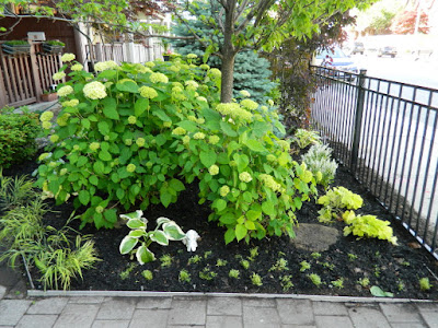 New Front Garden After in the Beach by Paul Jung Gardening Services--a Toronto Gardening Company