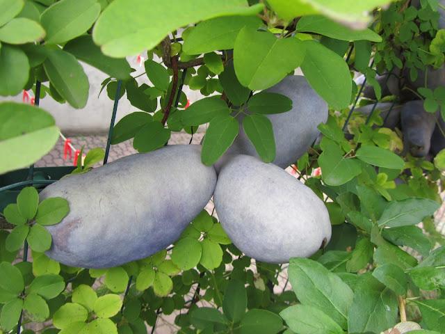 Frutti Quasi Maturi Akebia quinata