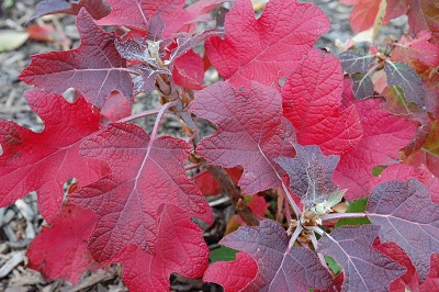 'Oak-Leaved Hydrangea' - Hydrangea quercifolia, red autumn colour