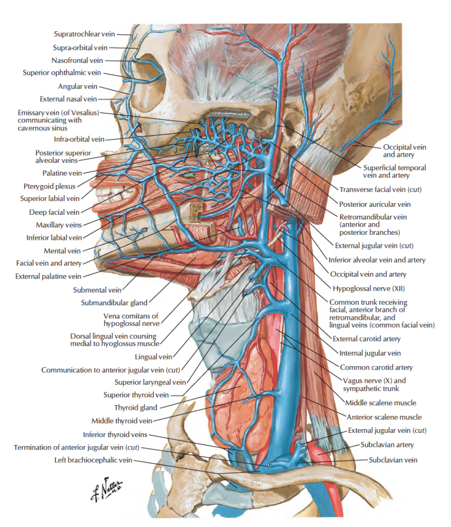 Human Anatomy Lessons: Veins in the neck