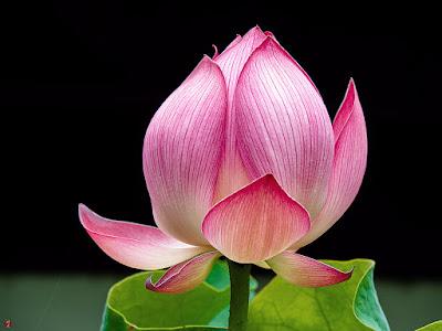 Sacred lotus flower: Kencho-ji