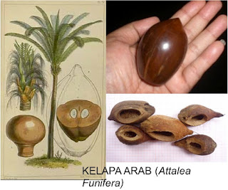 4 Benefits of Arabian Coconut That Are Not Known Much