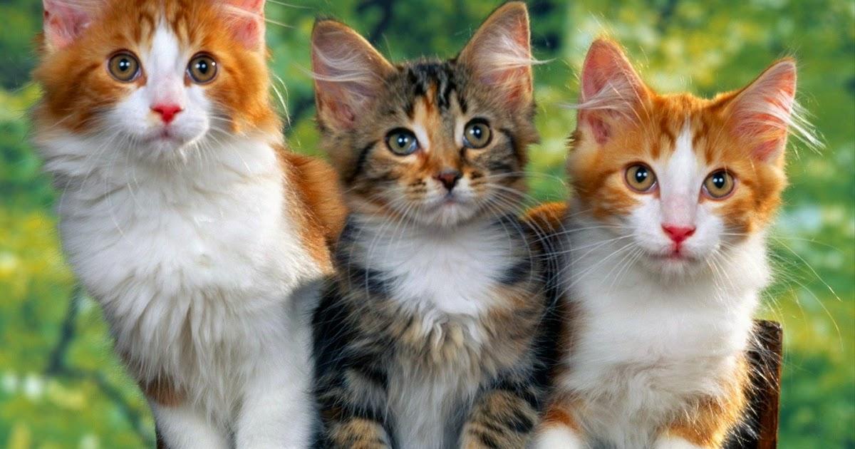 Gambar Kucing Yang Lucu godean.web.id