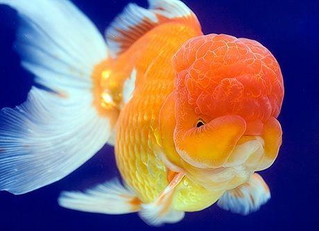 Ikan Mas Koki Lionhead