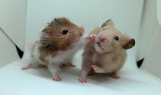 4+ Macam Perbedaan Hamster dan Tikus  yang Mudah Dikenali