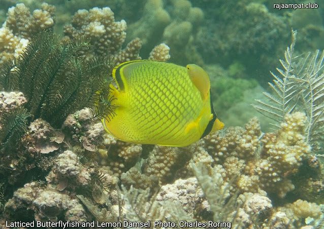Latticed Butterflyfish (Chaetodon rafflesi) and Lemon Damsel (Pomacentrus moluccensis)  Photo: Charles Roring